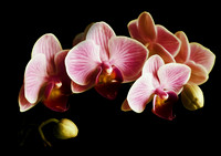 Pink Orchids On Black Wall Art